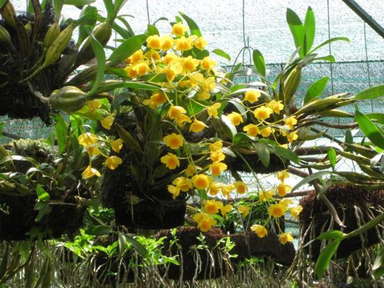 Hướng dẫn cách trồng lan Hoàng Thảo