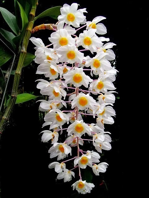 Tuyệt chiêu chăm sóc hoa lan khỏe đẹp - Vườn Phong Lan